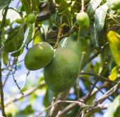 青芒果在花园的树上. — 图库照片