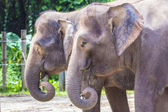 Indian Elephants — Stock Photo