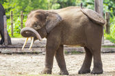 Indian Elephant child — Stock Photo