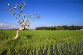 Rice Planting — Stock Photo