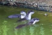 Curioso Rio lontra — Fotografia Stock