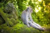 Monkey at Monkey Forest — Stock Photo
