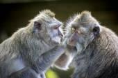 Monkey at Monkey Forest — Stockfoto