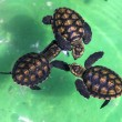 Baby green turtles. — Stock Photo #71863673