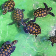 Baby green turtles. — Stock Photo #71863623