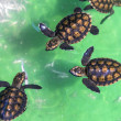 Baby green turtles. — Stock Photo #71863639