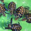 Baby green turtles. — Stock Photo #71863655