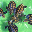 Baby green turtles. — Stock Photo #71863663