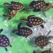 Baby green turtles. — Stock Photo #71863689