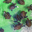 Baby green turtles. — Stock Photo #71863709