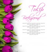 Tulip Blom — Stockfoto