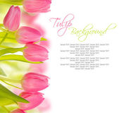 Tulip blooms — Stock Photo