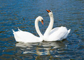 Swans in Hyde park lake — Stock Photo