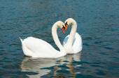 Swans in Hyde park — Stock Photo