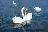Swans in Hyde park — Stockfoto