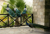 Few peacocks near building walking — Stock Photo