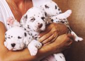 Human hand holding many puppies dalmatian close up — Stock Photo