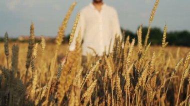 Man walking through wheat field — Stock Video