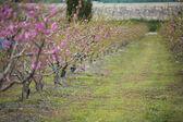 Bir alanın tam bloom ağaçların çiçek açması badem — Stok fotoğraf