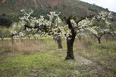 Mandelträd som blommar i fruktträdgård mot blå — Stockfoto