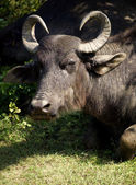 Water buffalo in a National Park — Stock Photo