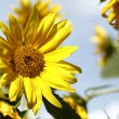 Beautiful yellow sunflowers in a blue sky — Stock Photo #54511559