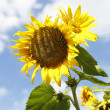 Beautiful yellow sunflowers in a blue sky — Stock Photo #54512565