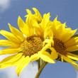 Beautiful yellow sunflowers in a blue sky — Stock Photo #54513041