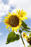 Beautiful yellow sunflowers in a blue sky — Stock Photo