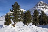 Green fir trees in snowy Austrian Alps — Stock Photo