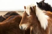 Portrait of an Icelandic pony with blonde mane — Stock Photo