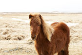 Portrait of a brown Icelandic pony  — Fotografia Stock