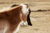 Portrait of an Icelandic pony with blonde mane — Stock Photo