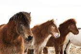 Herd of Icelandic ponies — Stock Photo