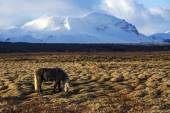 Gray Icelandic horse in front of snowy mountains — Stock Photo