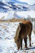 Brown Icelandic horse in front of snowy mountains — Stock Photo