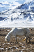 White Icelandic horse in front of snowy mountains — Stock Photo