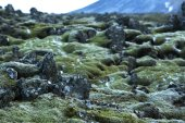 Durable moss on volcanic rocks in Iceland — Stock Photo