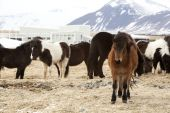 Herd of Icelandic horses — Stock Photo