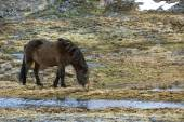 Wild Icelandic horse in spring — Stock Photo