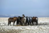 Herd of Icelandic horses after snow storm — Stock Photo