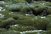 Closeup of resistant moss on volcanic rocks in Iceland — Stock Photo