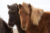 Icelandic horses on a meadow — Stock Photo