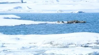 Seals swimming on an ice floe, part 2 — Stock Video