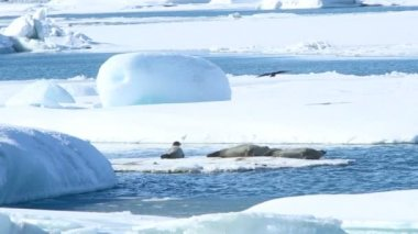 Seals swimming on an ice floe, part 4 — Stock Video