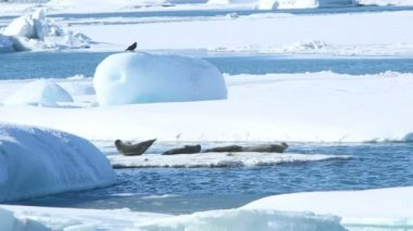 Seals swimming on an ice floe, part 5 — Stock Video