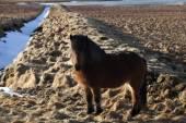 Brown icelandic pony on a meadow — Fotografia Stock