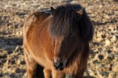Brown icelandic pony on a meadow — Stock Photo