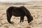 Portrait of a young black Icelandic horse — Stock Photo
