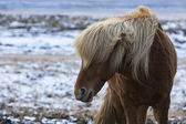 Angry Icelandic horse on a meadow in winter — Stock Photo